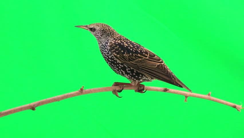 Starling on  green screen | Shutterstock HD Video #9543857