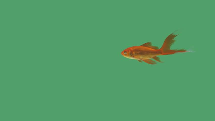 Goldfish swimming free on green screen
