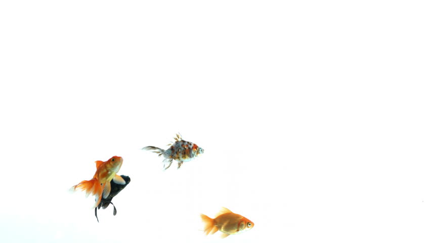 Assorted colorful fishes swimming free on white background