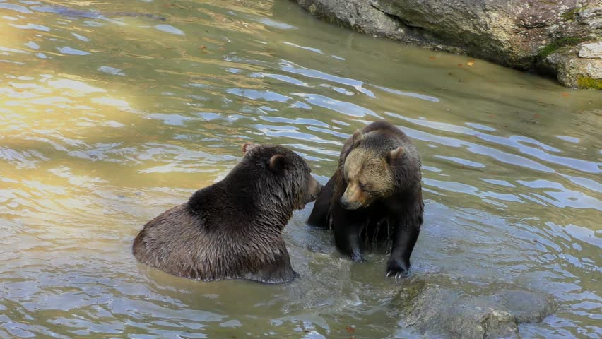4K footage of two Brown Bears (Ursus arctos) fighting in a small pond in the Bayerischer Wald National Park, Bayern, Germany