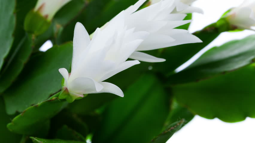 Timelapse Of White Easter Cactus Stock Footage Video 100 Royalty