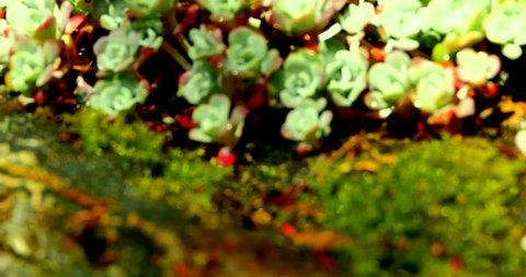 4K Maco Shots of Broad-leaved stonecrop, Sedum Spathulifolium