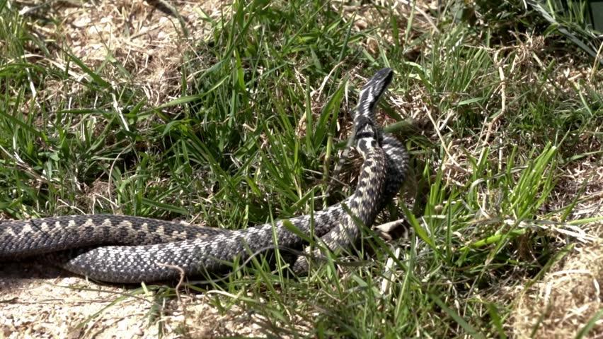 Male Adder Snake Dancing / Fighting, Vipera Berus