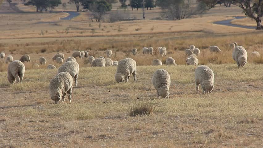 Sheep Farming Agriculture Rural Landscape Australia. Sheep farms are used to produce lamb meat and also wool industry production.