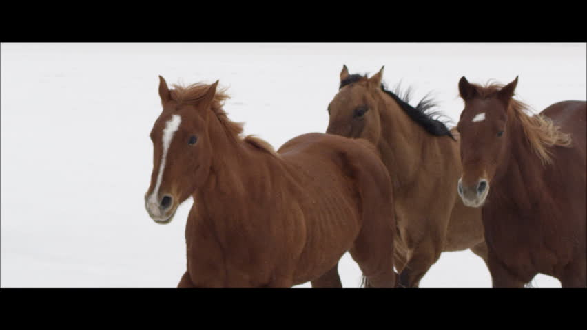 Slow motion horses running on the Bonneville Salt Flats, wide screen.