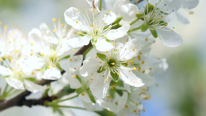 Ultra HD 4 k. Blossoming apple. Branch of apple tree in bloom in the spring. Close-up. | Shutterstock HD Video #9751703