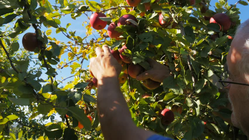 HUONVILLE AUSTRALIA CIRCA April 2015 An Orchard Worker Picks Ripe Red Apples From A