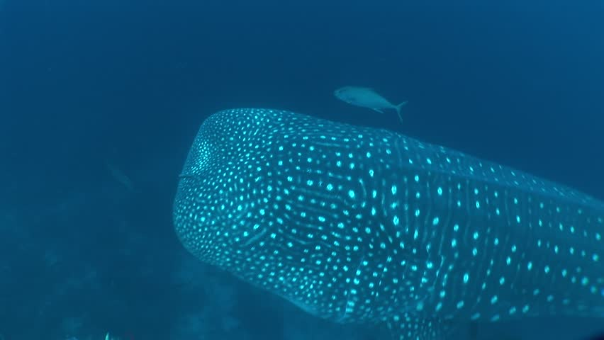 Close to the whale shark