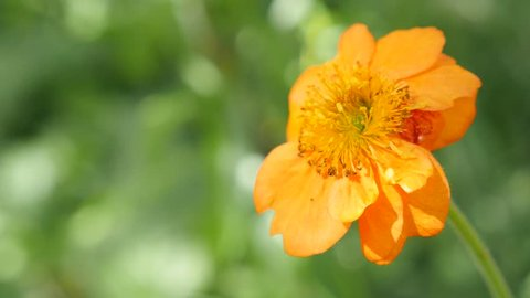 Calendula officinalis Common Marigold flower shallow DOF 4K 2160p UltraHD footage - English Marigold orange plant in the garden 4K 3840X2160 UHD video