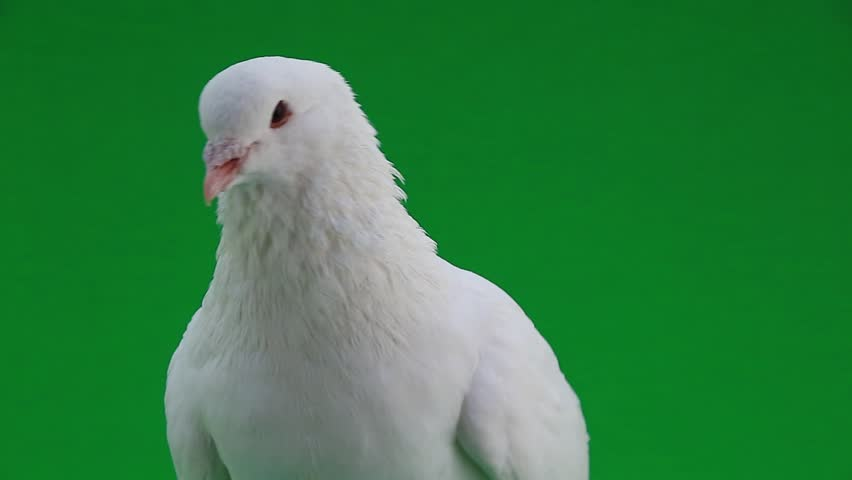 White pigeon on the green screen | Shutterstock HD Video #9913028