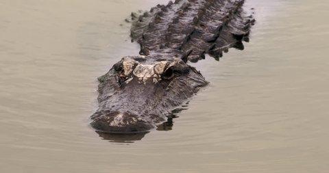 Very large alligator swimming towards the camera in dark, green, murky swamp water.