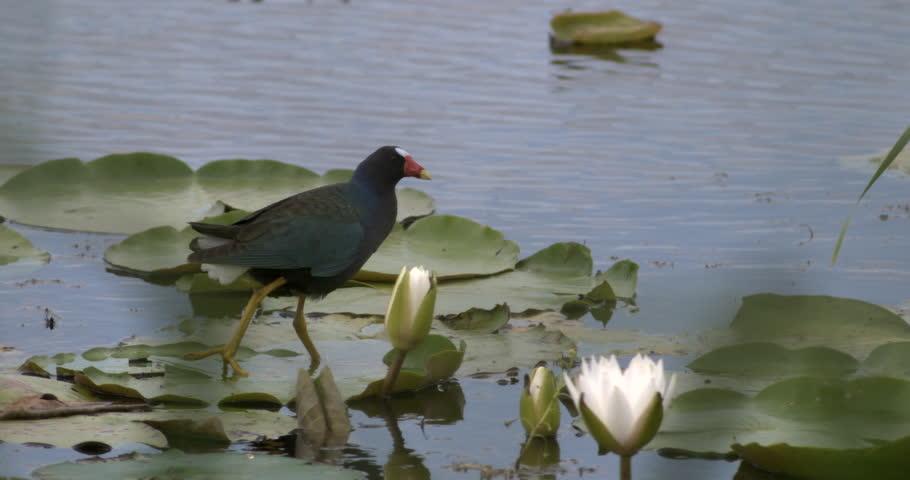 Common Gallinule bird walking across lily pads in wetlands in slow motion. #9959783