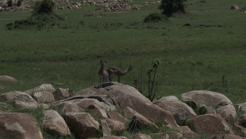 Klipspringer couple on rocks